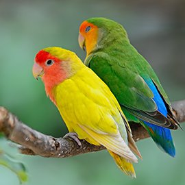 lovebirds, colour