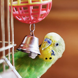 cage budgie