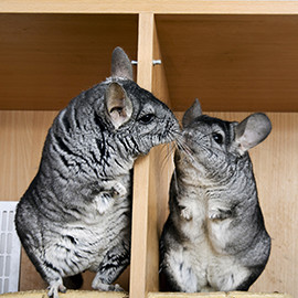 chinchilla huis