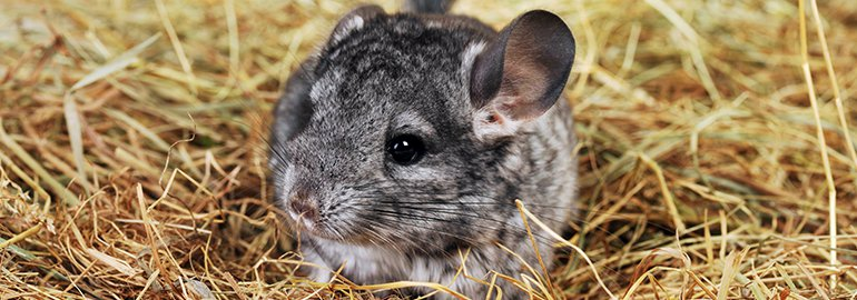 chinchilla hay