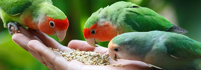 lovebirds, eating