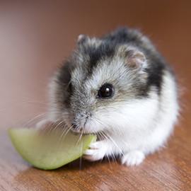 hamsters witte molen