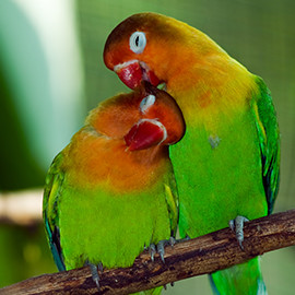 lovebirds green