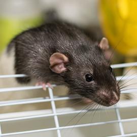 el tipo de jaula ms segura para los ratones es un terrario con una rejilla de malla muy fina en la parte superior los ratones se pueden escapar por las