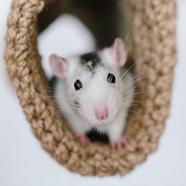 el corazn de los ratones late veces por minuto