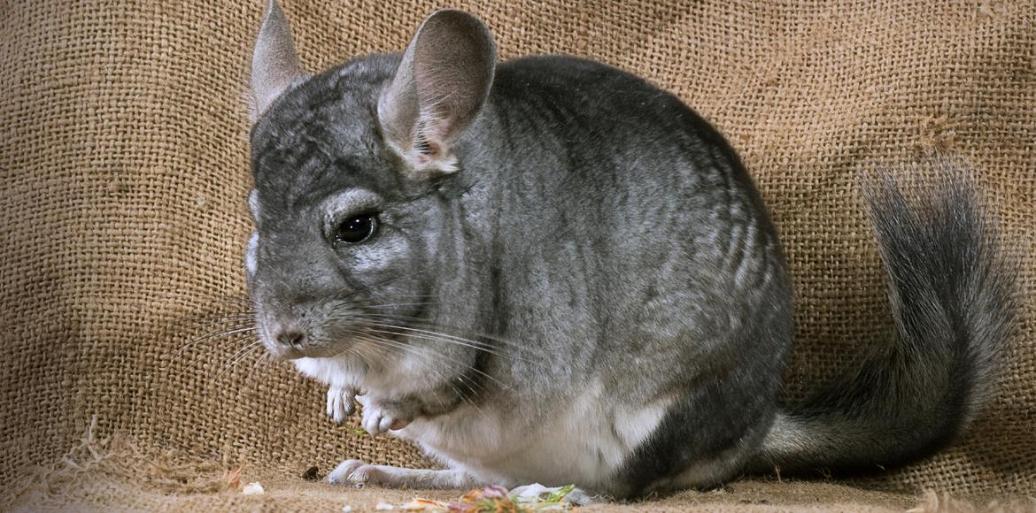chinchilla s witte molen