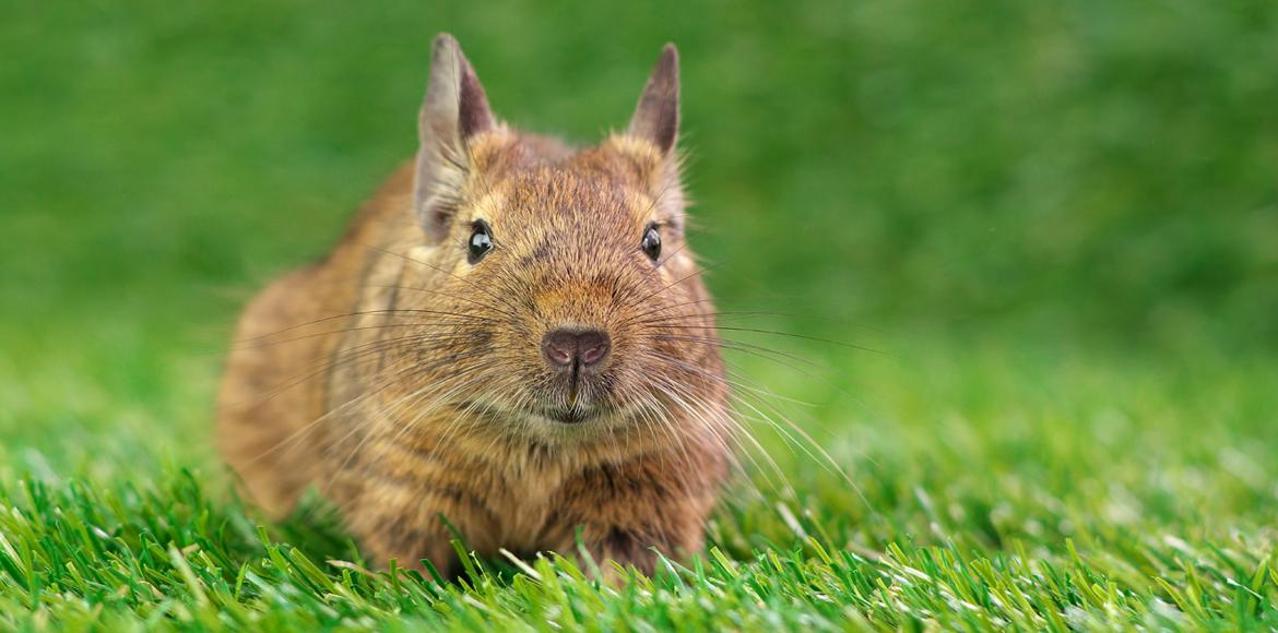 Degu in the grass