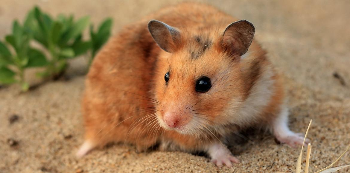Brown hamster in the sand