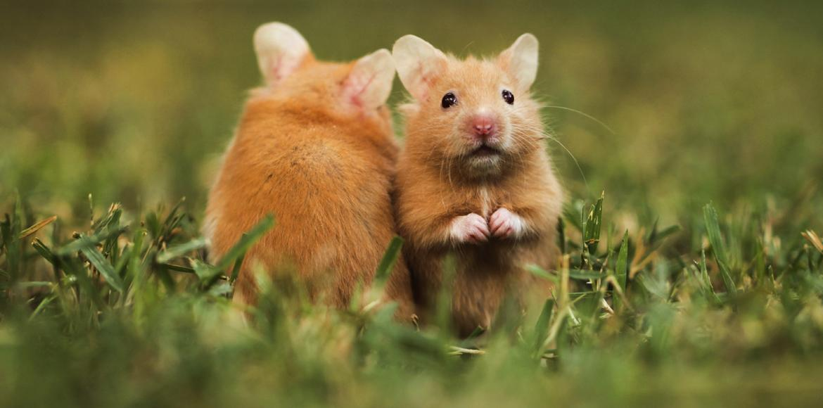 two hamsters