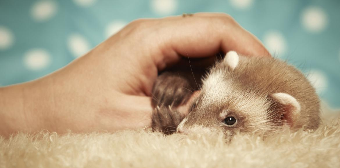 hand keeps ferret warm