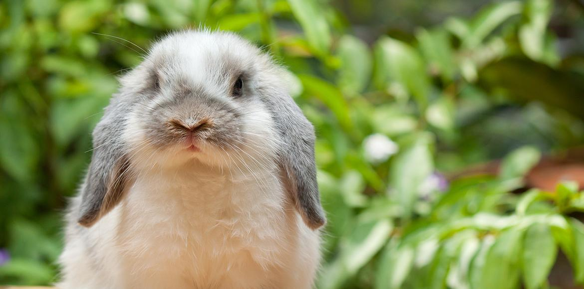 lopped rabbit