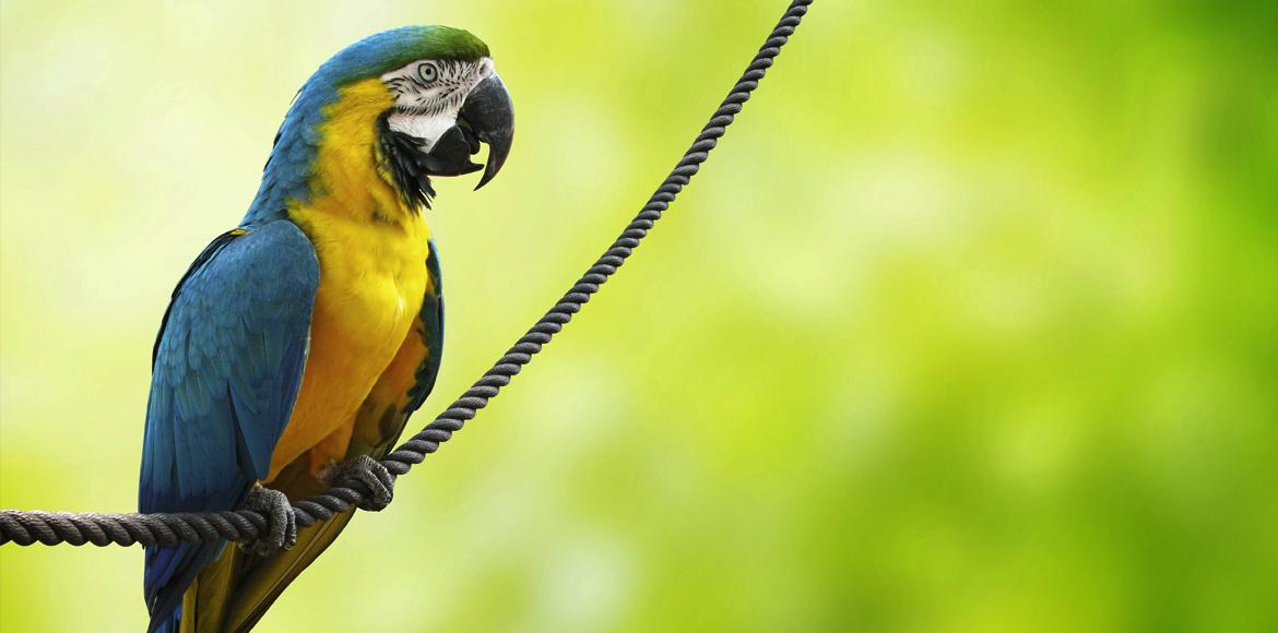 blue and yellow parrot on cord