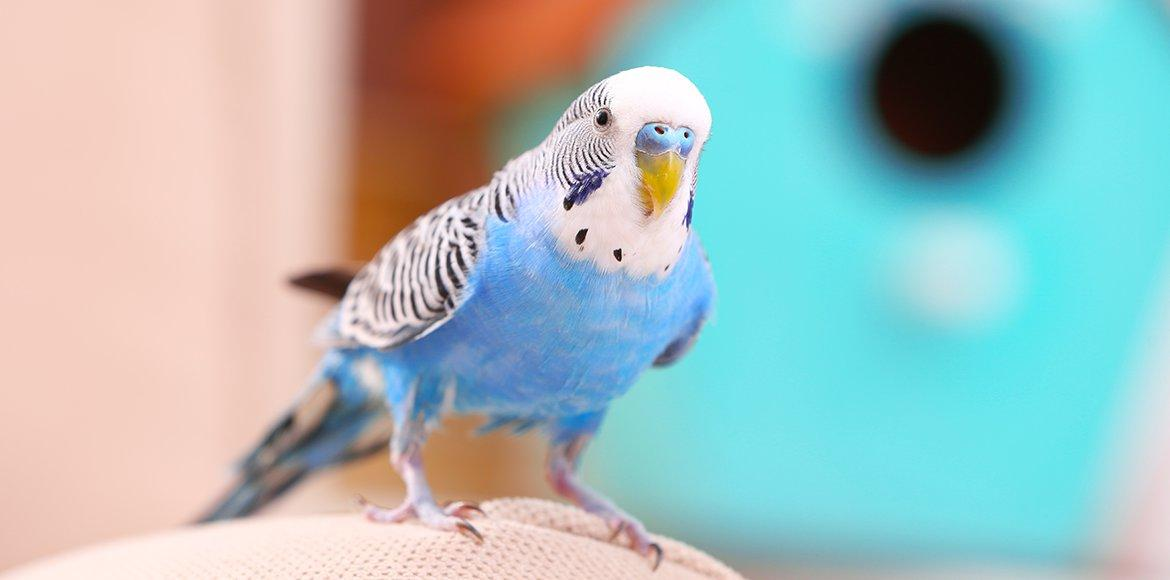 budgie blue